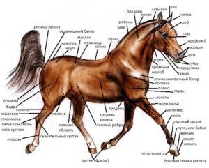 Как оценить лошадь
