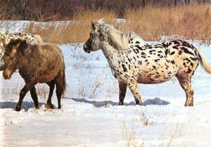 аборигенные породы лошадей
